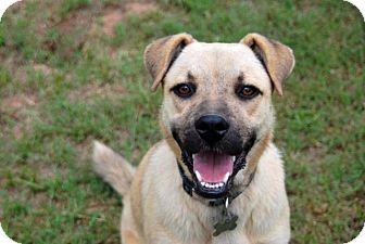 Shepherd (Unknown Type)/Boxer Mix Dog for adoption in Austin, Texas - Favor