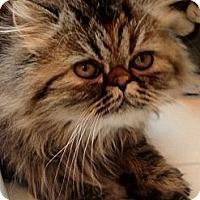 Adopt A Pet :: Clementine - Beverly Hills, CA
