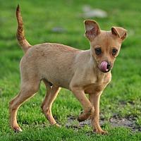 Chihuahua/Rat Terrier Mix Dog for adoption in Lodi, California - Gino