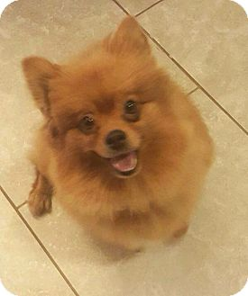 Pomeranian Dog for adoption in Norman, Oklahoma - Lucy