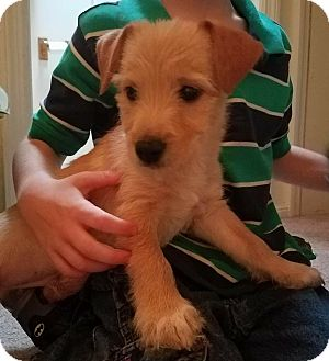 Terrier (Unknown Type, Small) Mix Puppy for adoption in Lima, Pennsylvania - Jackson
