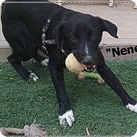 Adopt A Pet :: Nene (in adoption process) - El Cajon, CA