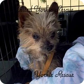 Yorkie, Yorkshire Terrier Dog for adoption in Long Beach, California - Toto