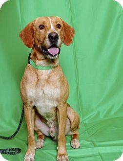 Labrador Retriever/Hound (Unknown Type) Mix Dog for adoption in Gloucester, Virginia - RILEY