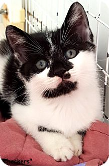 Domestic Shorthair Kitten for adoption in Key Largo, Florida - Checkers