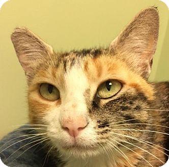 Domestic Shorthair Cat for adoption in Auburn, California - Calypso