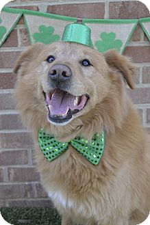 Chow Chow/Golden Retriever Mix Dog for adoption in Germantown, Tennessee - Simon
