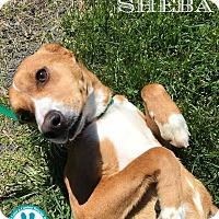 Adopt A Pet :: Sheba - Kimberton, PA