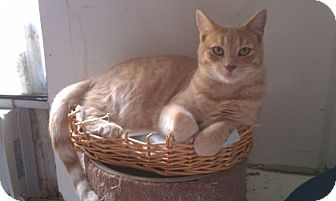 Domestic Shorthair Cat for adoption in Hot Springs, Arkansas - Nikolaus