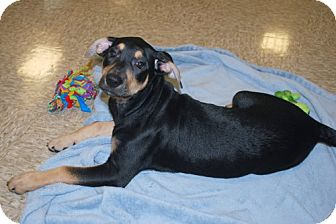 Terrier (Unknown Type, Medium) Mix Puppy for adoption in Minneola, Florida - Courtney