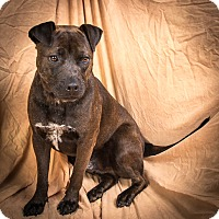 Labrador Retriever/Pit Bull Terrier Mix Dog for adoption in Anna, Illinois - TUCKER