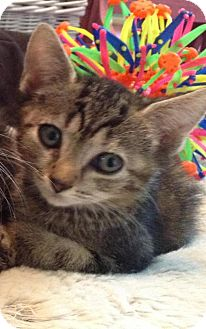 Domestic Shorthair Kitten for adoption in Sarasota, Florida - Kewpie
