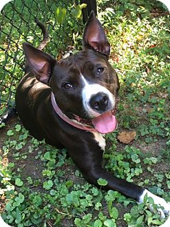 Staffordshire Bull Terrier/Boxer Mix Dog for adoption in Greenville, South Carolina - Angel