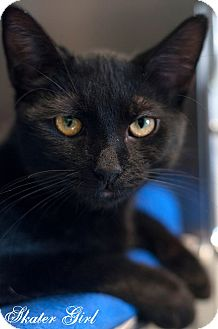 Domestic Shorthair Kitten for adoption in Manahawkin, New Jersey - Skater Girl