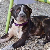 Adopt A Pet :: Cleo - Los Angeles, CA