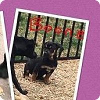 Adopt A Pet :: Boone - Bernardston, MA