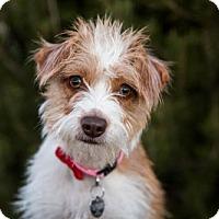 Adopt A Pet :: Zoey 2 Years - C/S & Denver Metro, CO