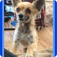 Adopt A Pet :: KAYOTE - Mount Royal, QC