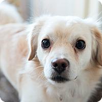 Adopt A Pet :: Elf - Wethersfield, CT