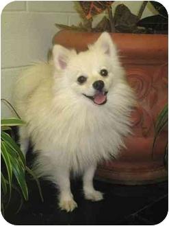 Pomeranian Dog for adoption in Wichita, Kansas - Fonzie