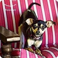 Adopt A Pet :: Tinkerbelle - Gilbert, AZ