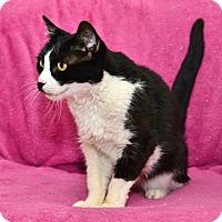 Adopt A Pet :: Tuxie - Davis, CA