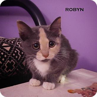 Domestic Shorthair Kitten for adoption in Speedway, Indiana - Robyn