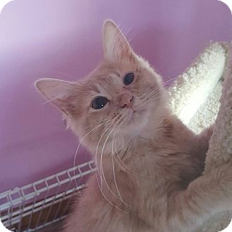 Domestic Longhair Kitten for adoption in Knoxville, Tennessee - Mercury