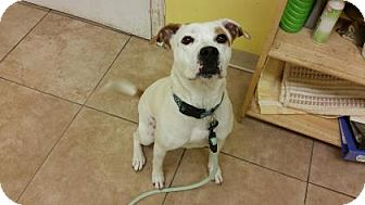 Pug/Pit Bull Terrier Mix Dog for adoption in Reisterstown, Maryland - Allie