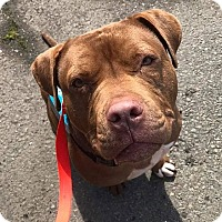American Pit Bull Terrier Dog for adoption in Berkeley, California - Ricky *Adoption Fee Waived*