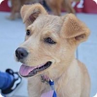 Adopt A Pet :: Lyric #0586 - Fort Worth, TX