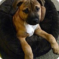 Adopt A Pet :: Dozer - Branford, CT