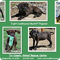 Adopt A Pet :: Puppies - Shippenville, PA