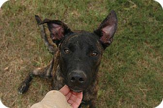 Shepherd (Unknown Type) Mix Dog for adoption in San Antonio, Texas - Chance