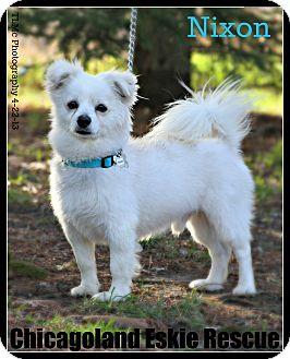 American Eskimo Dog Dog for adoption in Elmhurst, Illinois - Nixon