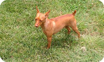 Miniature Pinscher Dog for adoption in Nashville, Tennessee - Dillon