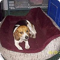 Adopt A Pet :: Griddle - Leesburg, VA