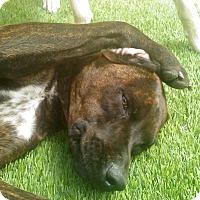 Adopt A Pet :: Sasha - Greeley, CO