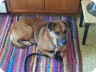 German Shepherd Dog/Boxer Mix Dog for adoption in Franklinville, New Jersey - Chelsea