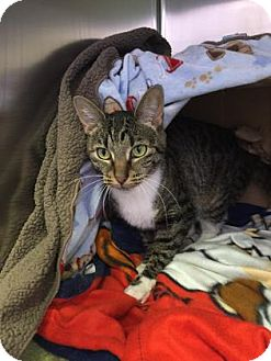 Domestic Shorthair Cat for adoption in Schererville, Indiana - Princess