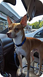 Chihuahua/Terrier (Unknown Type, Small) Mix Dog for adoption in Waterbury, Connecticut - Kane