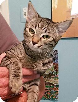 Domestic Shorthair Kitten for adoption in Gilbert, Arizona - Precious