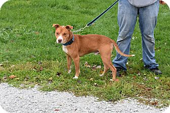 Pit Bull Terrier Mix Dog for adoption in North Judson, Indiana - Chief