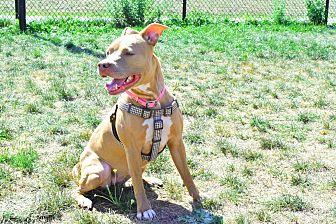 Pit Bull Terrier/American Pit Bull Terrier Mix Dog for adoption in Worcester, Massachusetts - Jada
