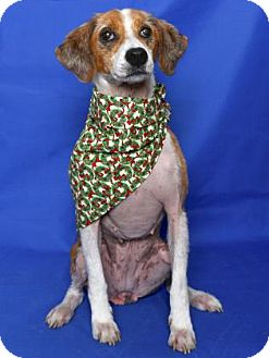 Hound (Unknown Type) Mix Dog for adoption in Gloucester, Virginia - KIWI