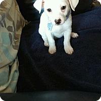 Adopt A Pet :: Peanut-Guest Dog - Dallas, TX