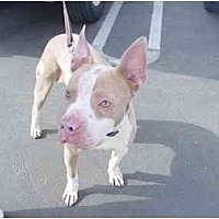Boxer/Bull Terrier Mix Dog for adoption in West Los Angeles, California - Nick