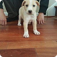 Adopt A Pet :: Baby Evee - Rockville, MD