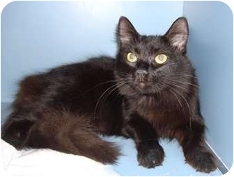 American Shorthair Cat for adoption in Lake Charles, Louisiana - Patricia