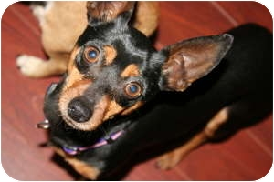 Miniature Pinscher/Chihuahua Mix Dog for adoption in Vancouver, British Columbia - Shadow - Pending